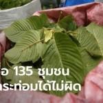 เปิดรายชื่อ 135 หมู่บ้าน-ชุมชน นำร่อง พื้นที่เสพพืชกระท่อม โดยไม่ผิดกฎหมาย